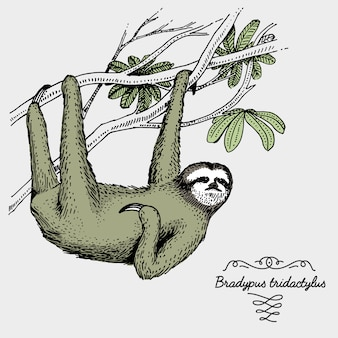 Preguiça-de-garganta-pálida gravada, ilustração de mão desenhada no estilo de xilogravura scratchboard, espécies de desenho vintage.