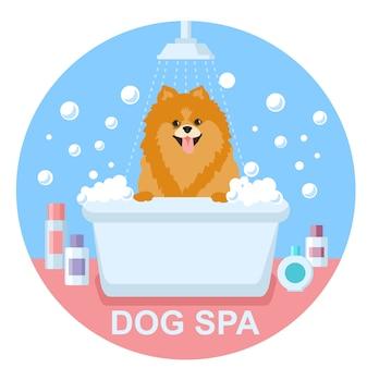 Preparação do cão. lavagem de cachorro spitz. spa do cão