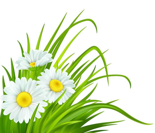 Primavera com margaridas e grama verde fresca.