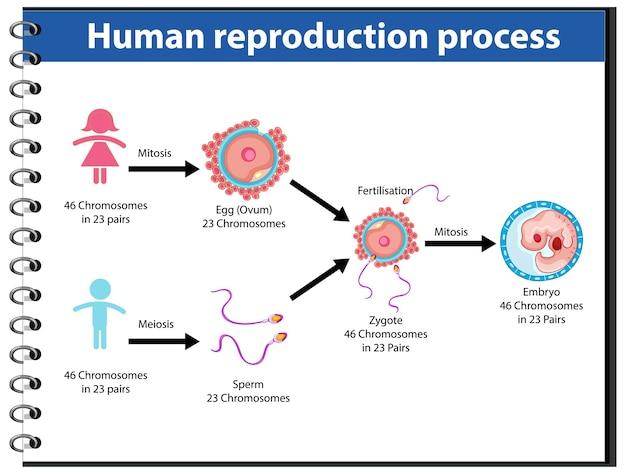Processo de reprodução do infográfico humano Vetor grátis