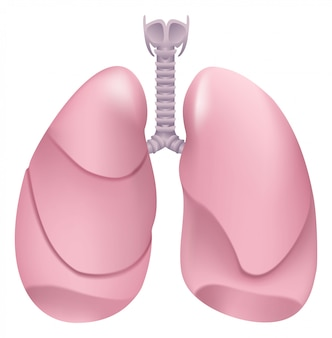 Pulmões humanos saudáveis. sistema respiratório. pulmão, laringe e traquéia de pessoa saudável