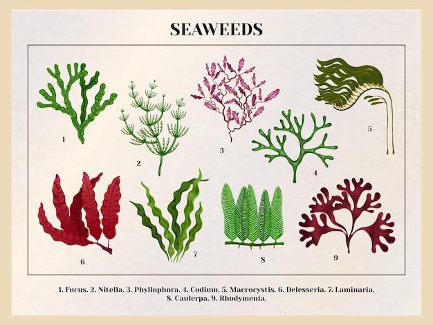 Quadro educativo botânico de coleta de algas marinhas com espécies de algas verdes marrom vermelhas retrô