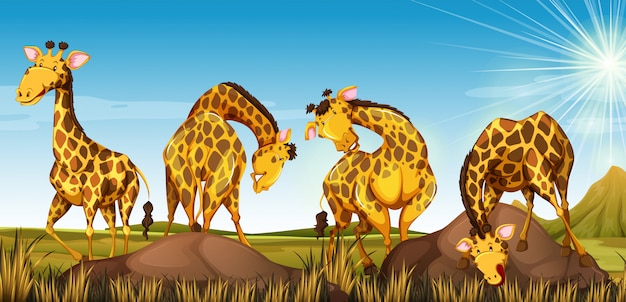 Quatro girafas no campo