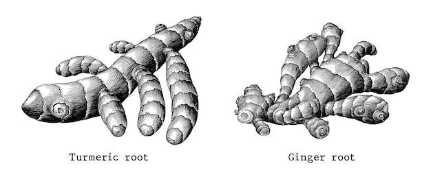 Raiz de gengibre e mão de botânica raiz de açafrão desenhar vintage isolado no fundo branco