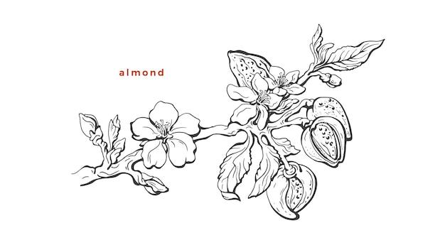 Ramo de amêndoa fruto natural, folha, noz desenho botânico