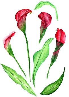 Ramo de calla aquarela, ilustração floral desenhada de mão