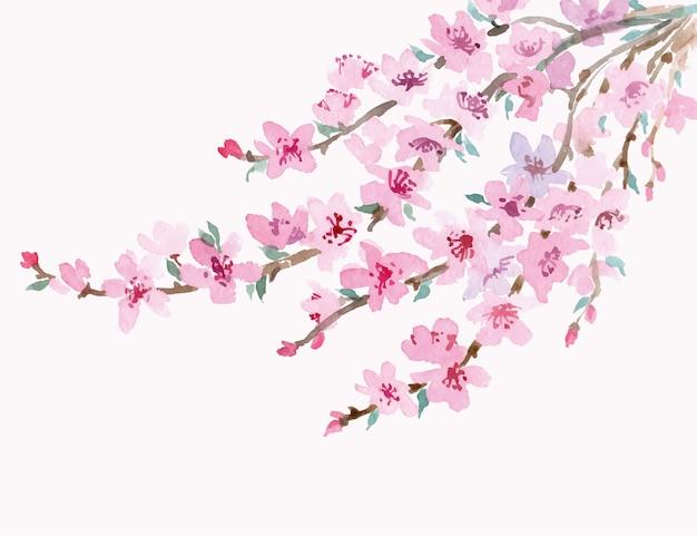 Ramo de cerejeira em flor isolado em um fundo branco.