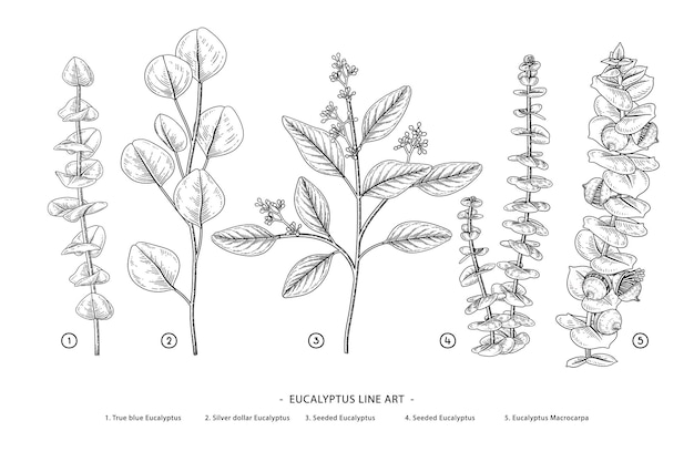 Ramo de eucalipto mão desenhada ilustrações botânicas.
