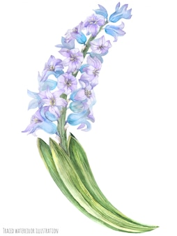 Ramo de jacinto violeta azul