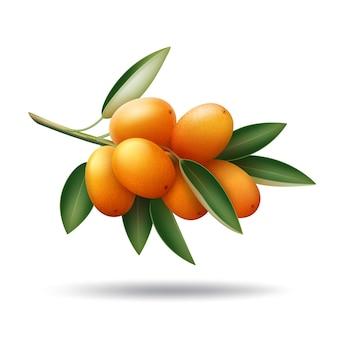 Ramo de kumquat de vetor com frutas laranja e folhas verdes isoladas no fundo branco