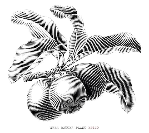 Ramo de manteiga de karité desenhado à mão estilo vintage gravura clip-art em preto e branco isolado no fundo branco