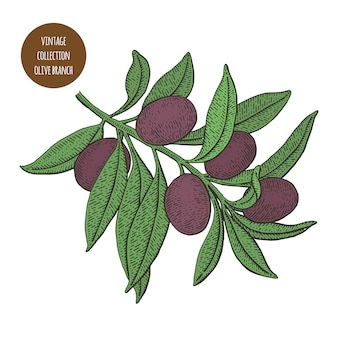 Ramo de oliveira com azeitonas pretas