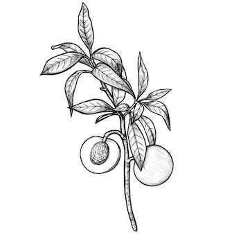 Ramo de pêssego desenhado à mão