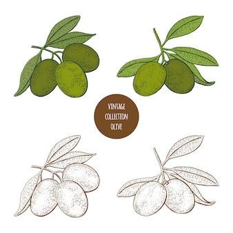 Ramos de oliveira com azeitonas