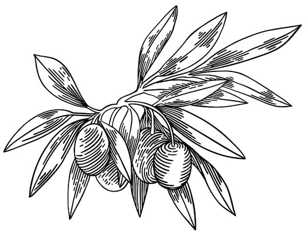 Ramos de oliveira isolados no branco