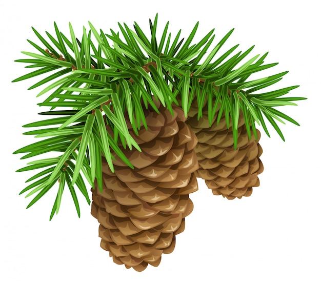 Ramos de pinheiro com cones