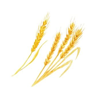 Realista espiga de trigo. folha de outono em aquarela mão ilustrações desenhadas.