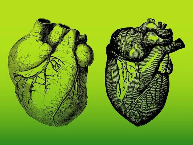 Realistic pacote vector corações humanos detalhada