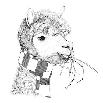 Retrato de alpacas, lhamas. lama em um lenço.