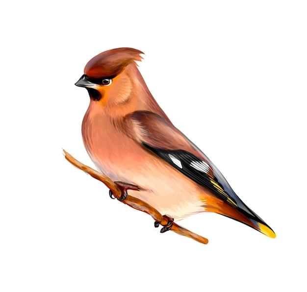 Retrato de um pássaro waxwing sentado em um galho no fundo branco, esboço desenhado à mão. ilustração de tintas
