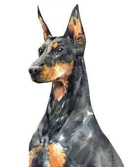 Retrato do doberman pinscher. aquarela de cão de rosto. pintura doberman.