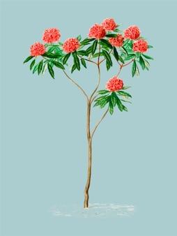 Rhododendron arboreum ilustrado por charles dessalines d orbigny (1806-1876).