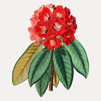 Rhododendron ceilão