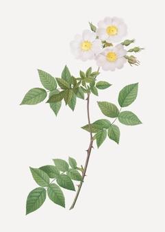 Rosa branca collina rosa