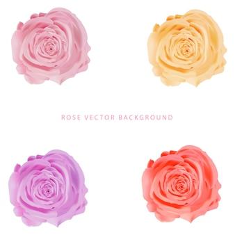 Rosa floresceu isolado