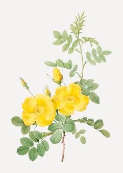 Rosas amarelas do sweetbriar