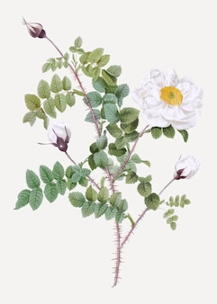 Rosas brancas burnet