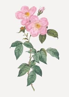 Rosas de chá perfumadas em flor