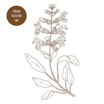 Sábio. ilustração em vetor botânica vintage mão desenhada isolada. estilo de desenho. cozinha ervas e especiarias.