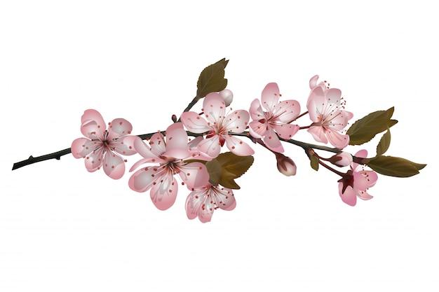 Sakura floresce o fundo