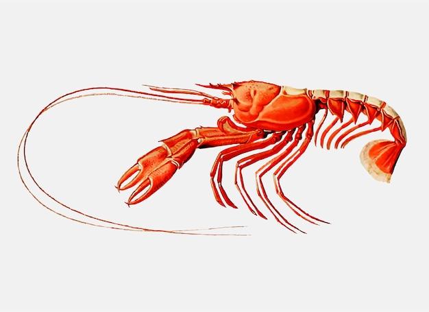 Scarlett garra de lagosta