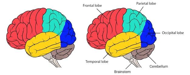 Seções da anatomia do cérebro humano vista lateral