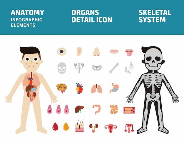 Sistema de órgãos internos. infográfico de corpo de anatomia humana. sistema esquelético. ícone dos órgãos internos