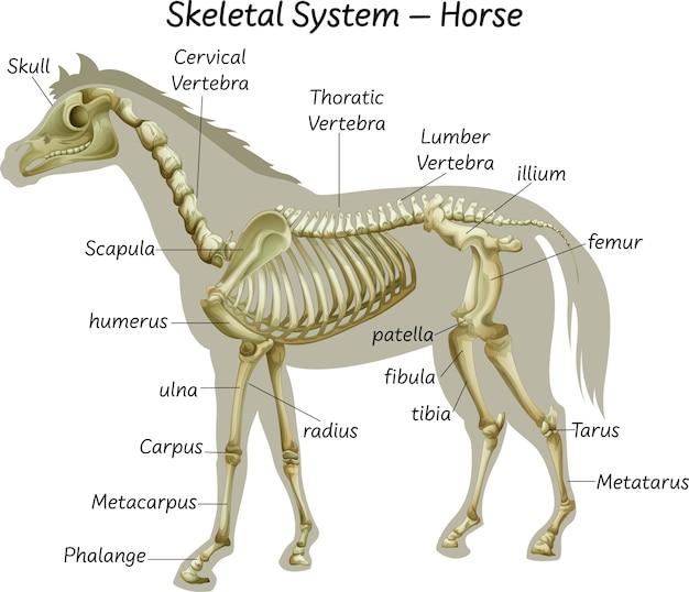 Sistema esquelético de cavalo científico