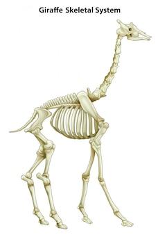 Sistema esquelético de uma girafa