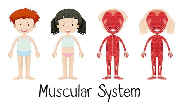 Sistema muscular de menino e menina