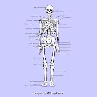 Sistema ósseo esboçado
