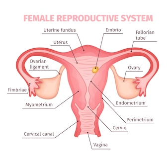 Sistema reprodutivo feminino científico