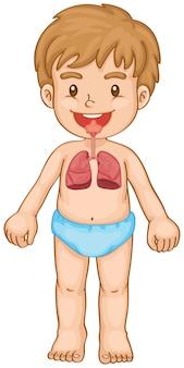 Sistema respiratório em menino humano
