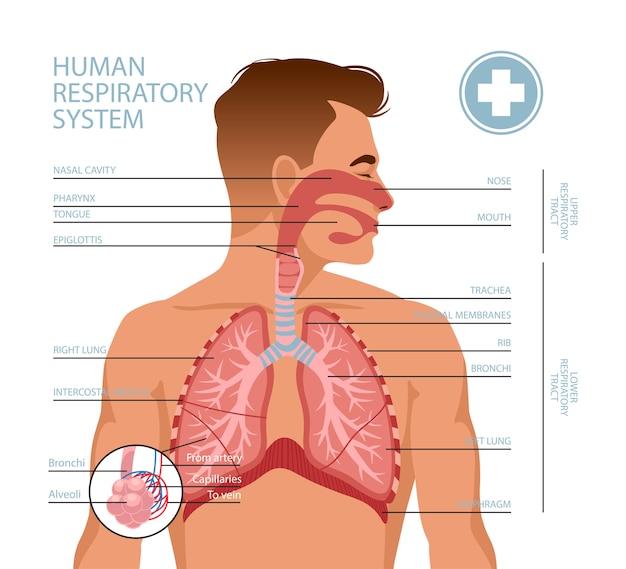 Sistema respiratório humano.