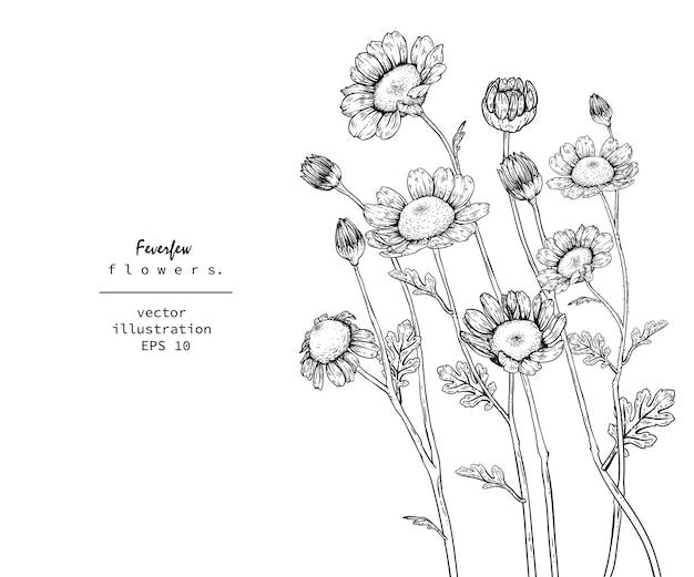 Tanacetum feverfew desenhos de flores.
