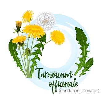 Taraxacum planta medicinal para rótulos