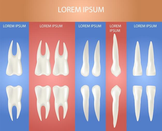 Tipo diferente de dente. cartaz 3d realístico