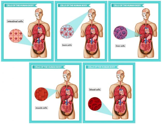 Tipos de células médicas científicas