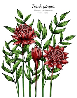 Tocha vermelha flor de gengibre e folha desenho ilustração com linha artística em brancos.