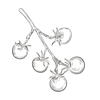 Tomate cereja em um galho. desenho vintage.